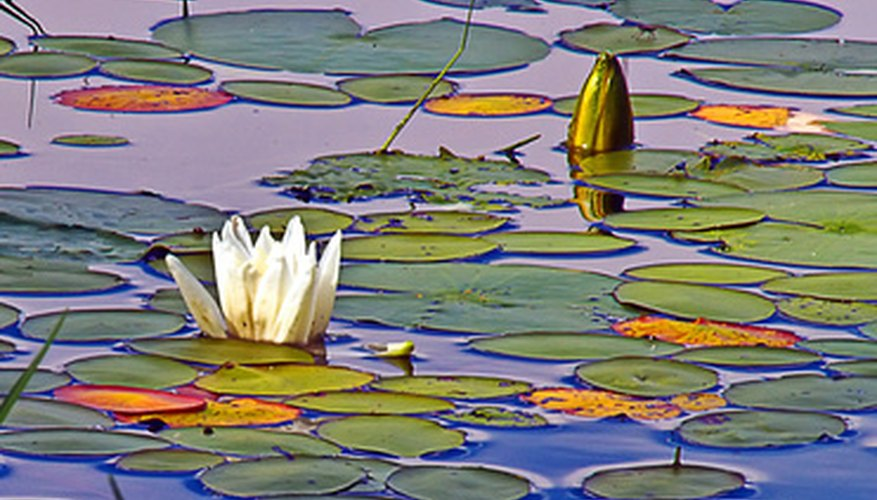 Lily pads are often found growing in fresh water.