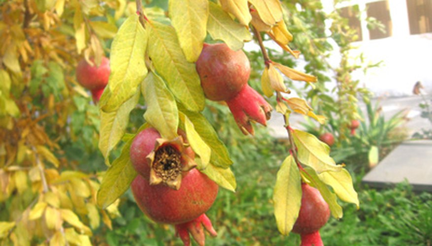 The pomegranate tree is prized for its rich history and flavorful fruit.