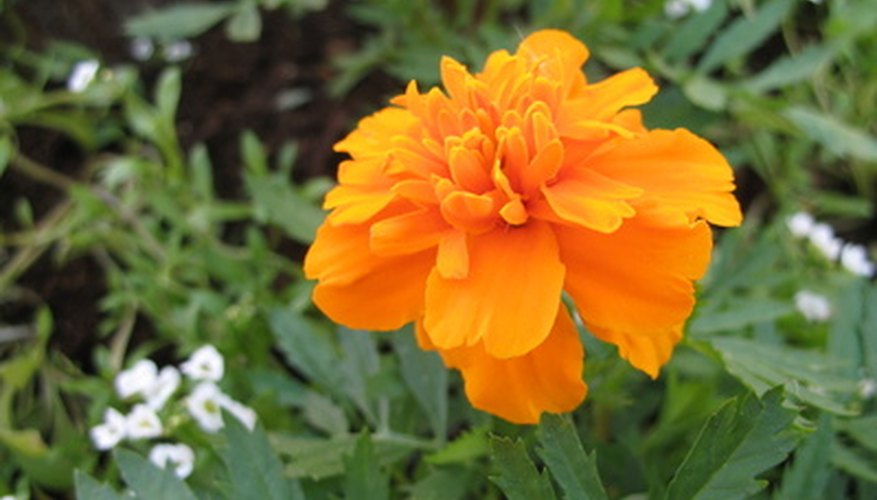 Marigolds are a tried and true annual.