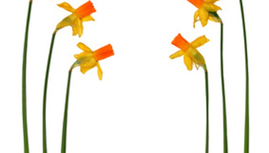 Pressed daffodils and stems