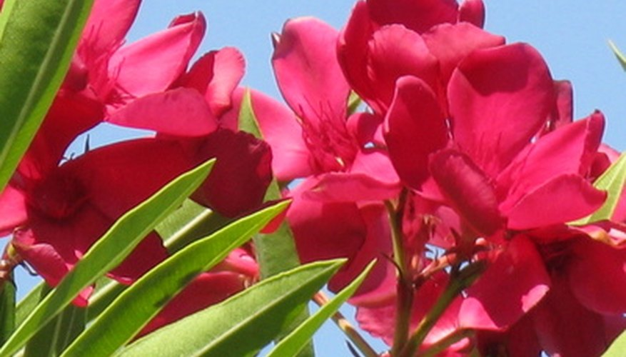 The flowering oleander is native to Africa.