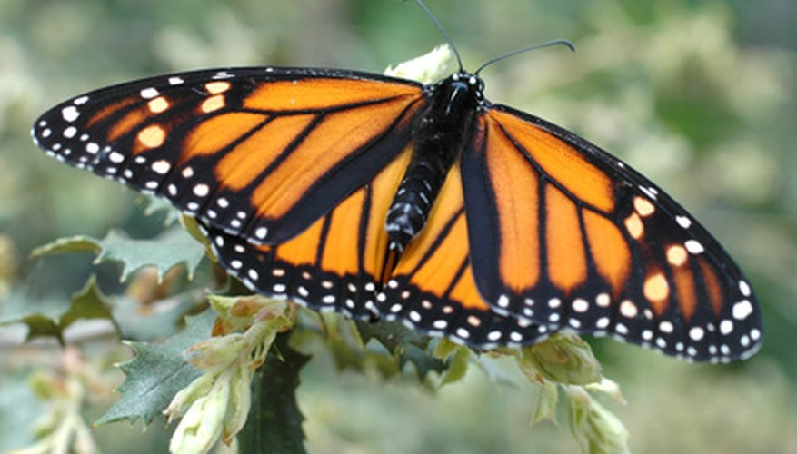 The monarch butterfly is a frequent visitor to milkweed plants