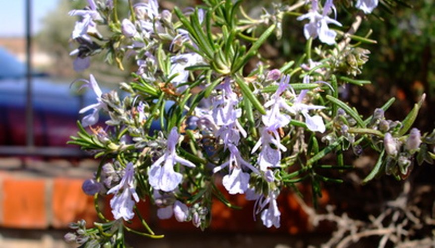 Rosemary has aromatic pale blue blooms.