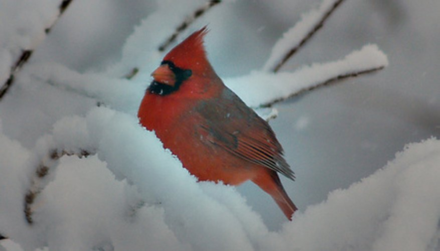 Cardinals are drawn to bird feeders mounted at a middle height.