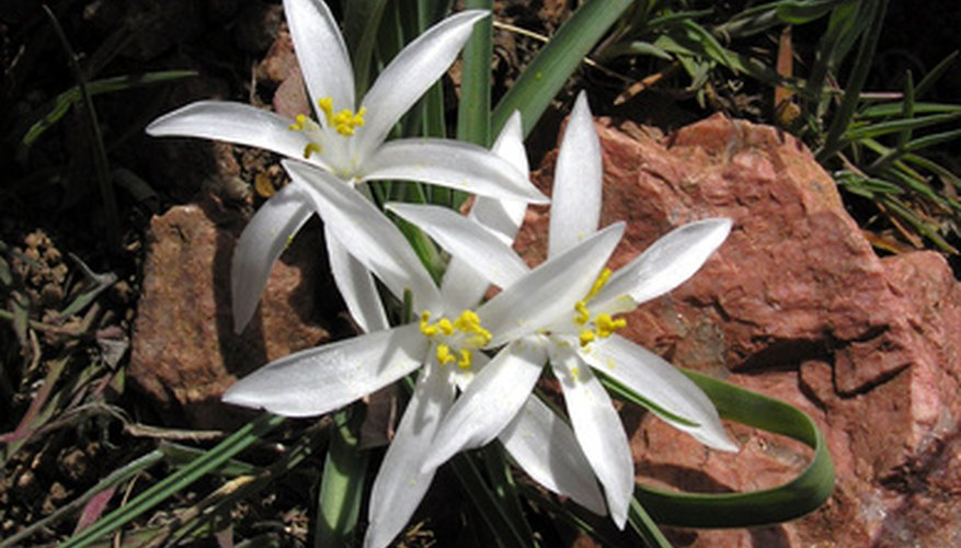 Stargazer lilies grow quickly and do not require much maintenance.