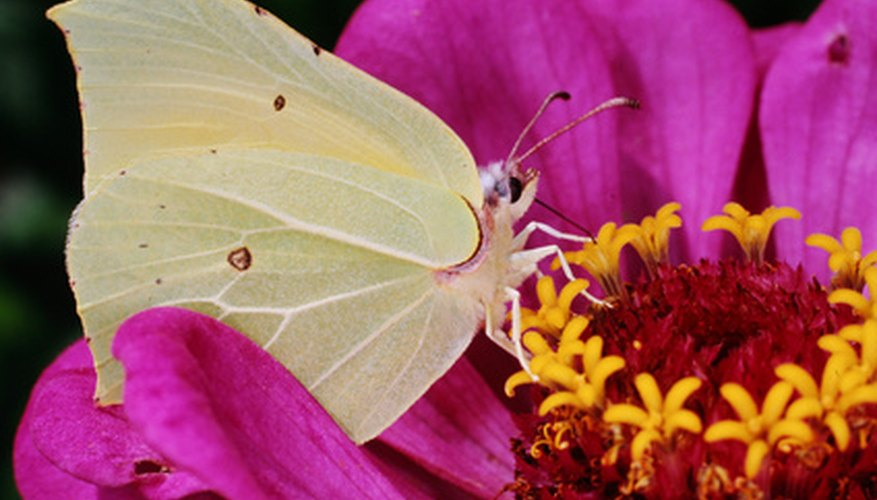 Butterflies feed from and pollinate zinnias.