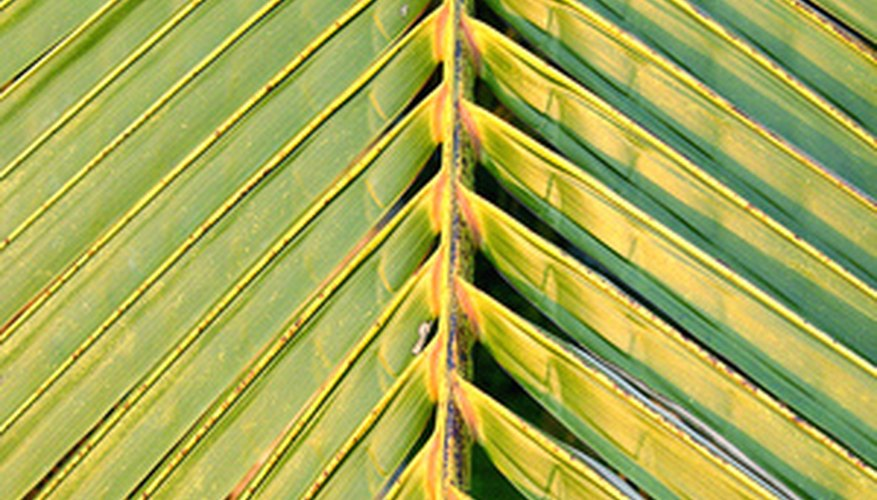 Sick palm leaves display spots from fungus problems.