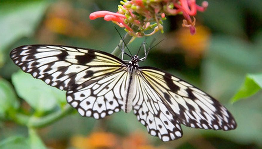 The tree nymph butterfly occurs throughout southeast Asia.