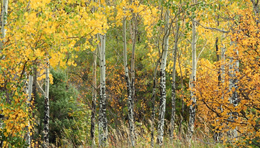 Quaking aspen can grow in pure stands of many trees.