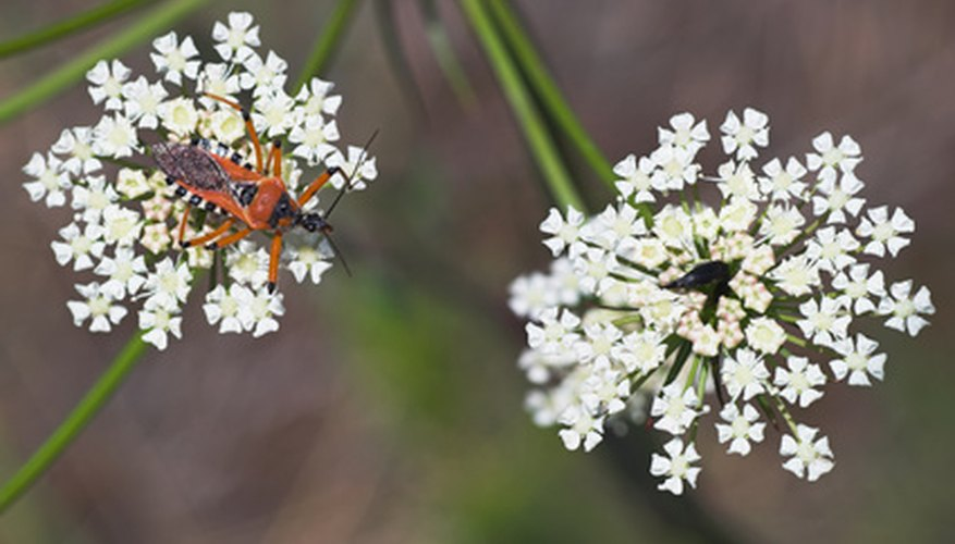 Assassin bugs are predators of many common garden pests and are readily identifiable by their brightly colored markings.