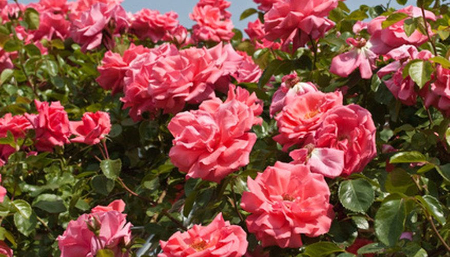 Growing healthy roses