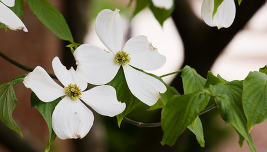 Flowering dogwood in flower in early spring as leaves unfurl.