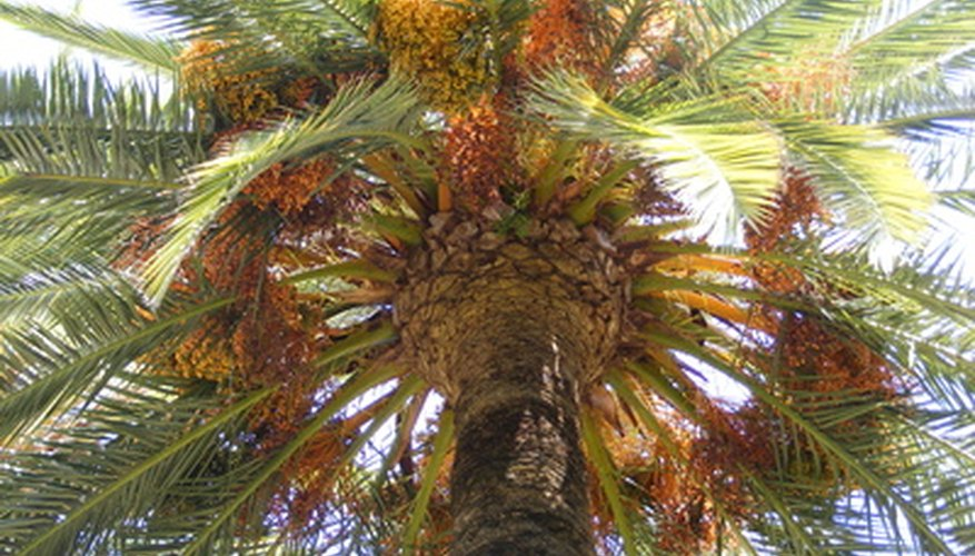 Date palms grow too large to fit in most yards.