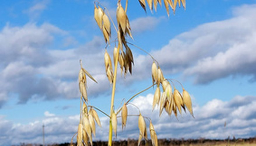 Oats are annual grasses.