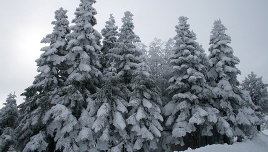 Hemlocks covered in snow.