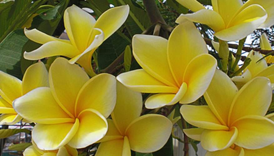 Plumeria tree in bloom