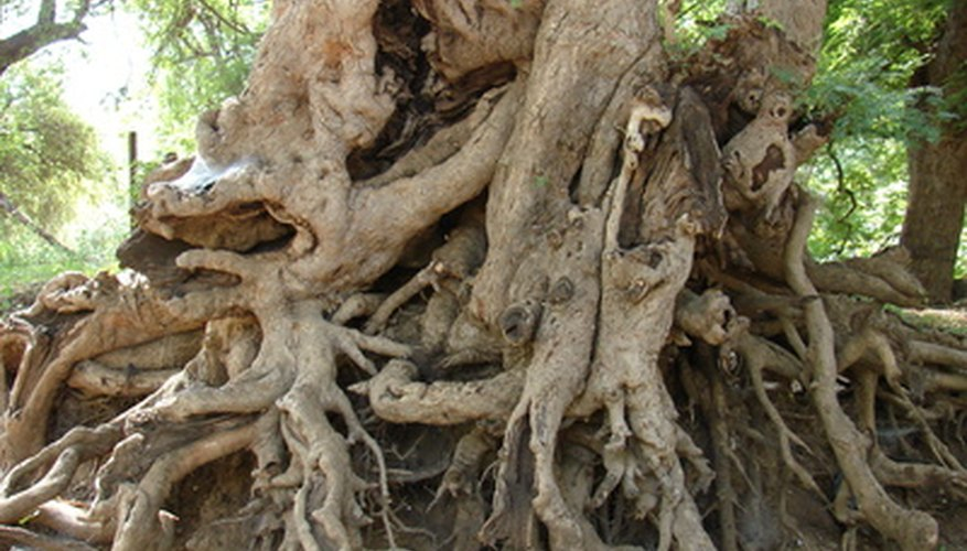 Roots draw water and minerals from the ground, and they are pulled up through the xylem.