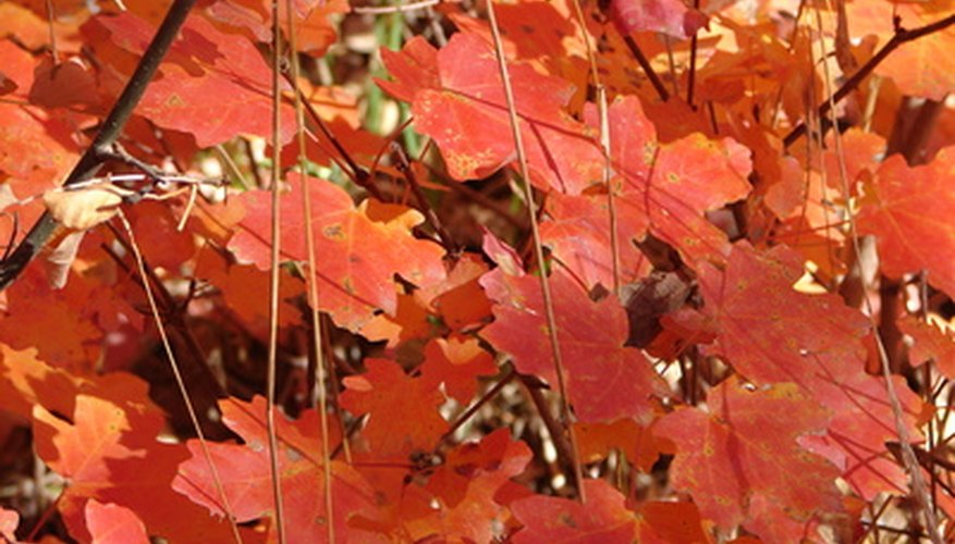 Sugar maple brings brilliant autumn color to Nebraska's landscapes.
