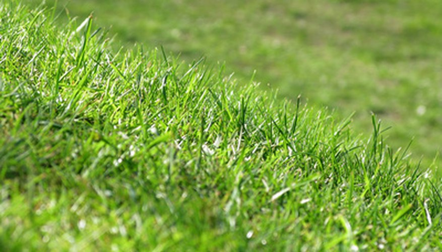 Bermuda grass is a dense turfgrass.