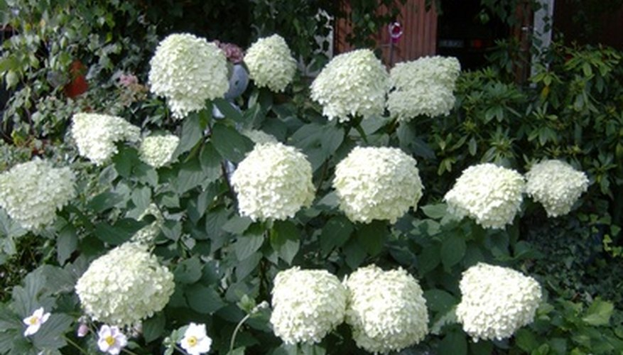 Looking like pointed snow balls, the blooms of oakleaf hydrangea are suitable for cutting.