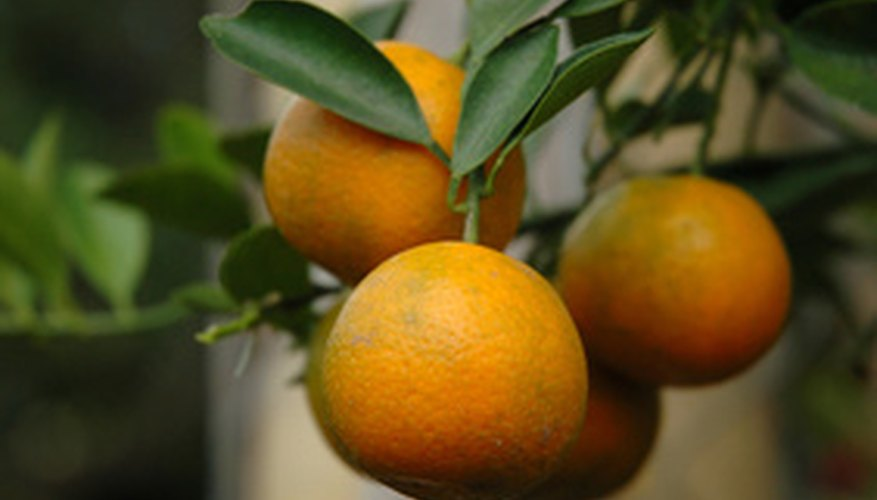 Plump oranges on an organic orange tree