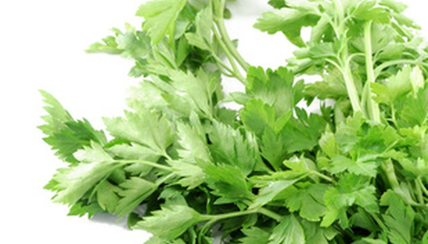 Parsley is used in kitchens as an everyday element.