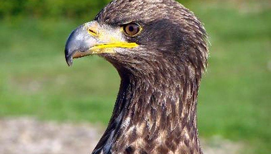 Aguilucho de águila calva.