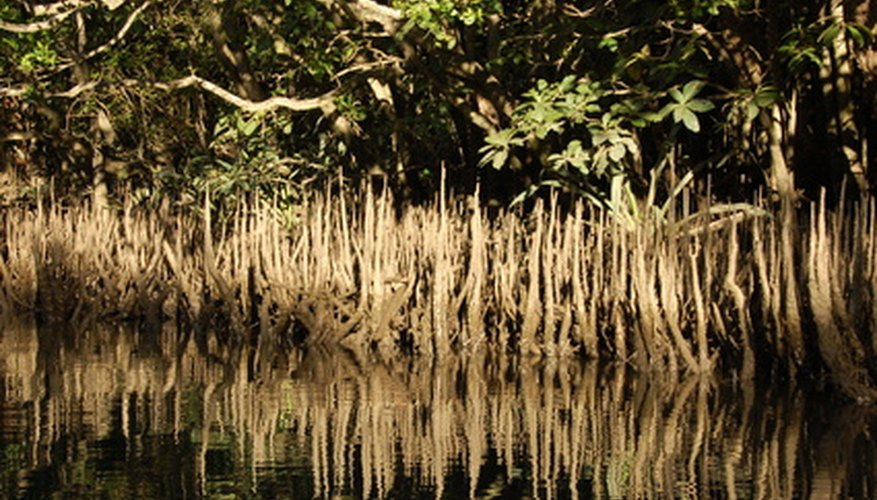 Red Mangroves can live in salt water.