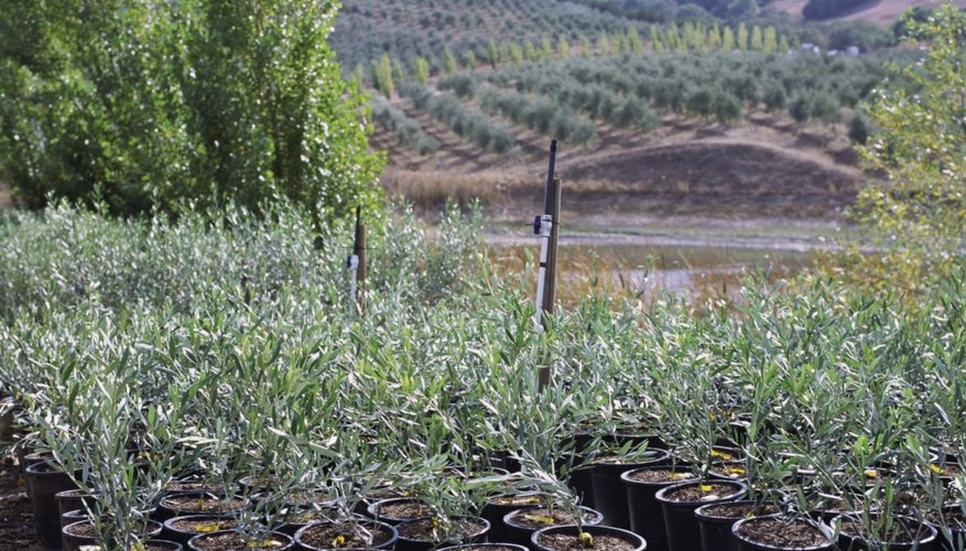 Baby olive trees may have centuries ahead of them.