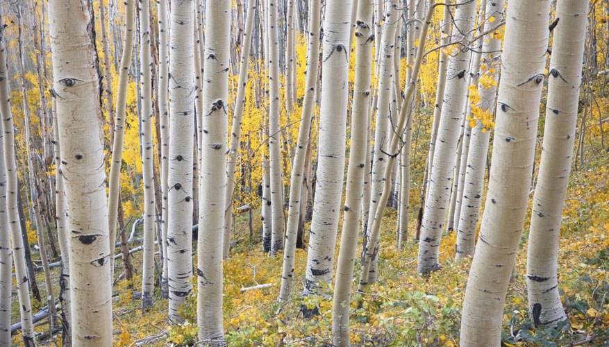 The trunks of birch trees with gold foliage in the fall.