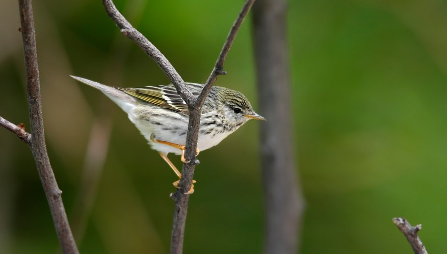 Blackpoll Warbler on twig