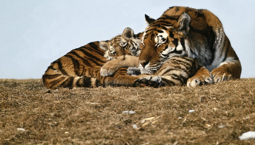 A tiger mom makes all of the decisions for her cub.