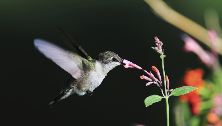 Hummingbirds must eat at least half their body weight in food every day.