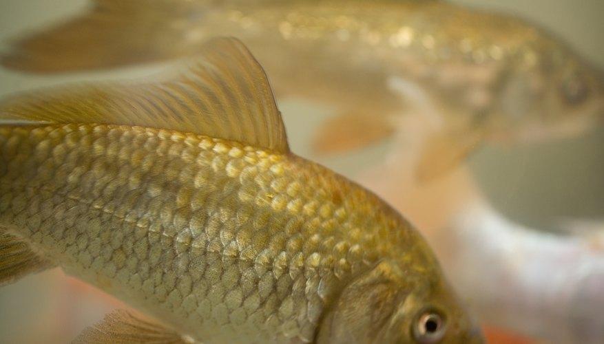 Puedes aprender mucho de un pez dorado.