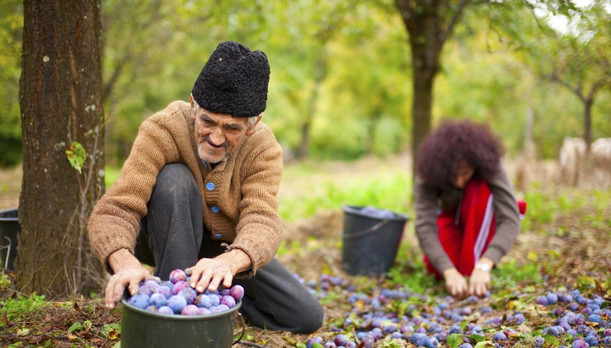 Two people pick plums in an orchard.
