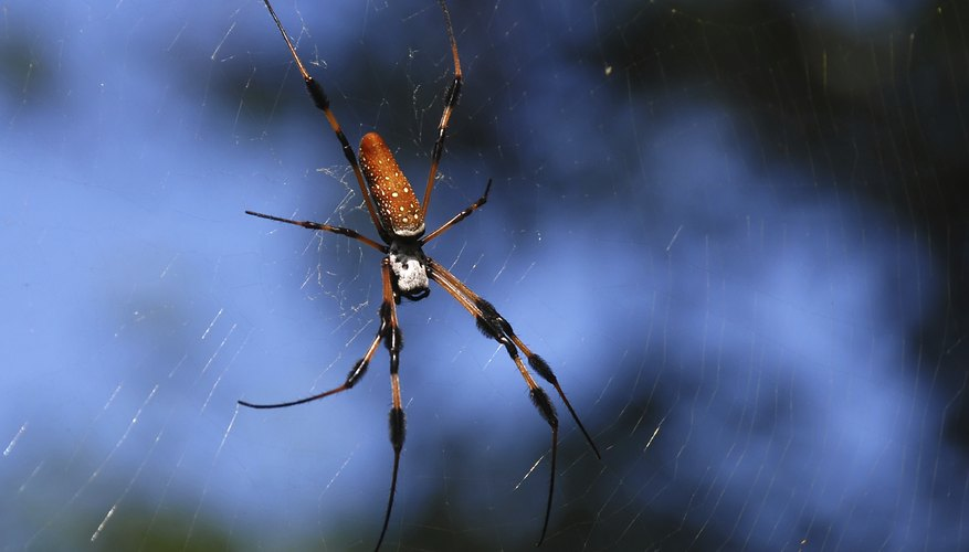 Golden Silk Orb Weavers are mostly found the swamps and shady woodlands of Mississippi.