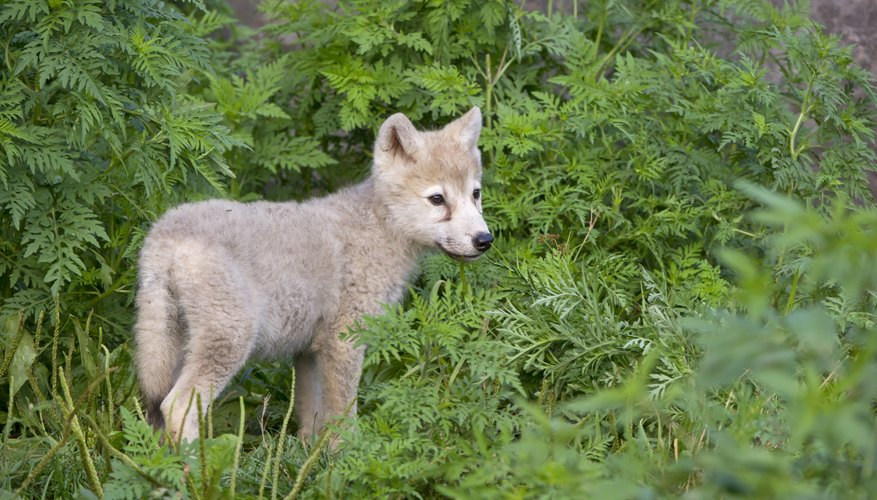 Wolf pups begin howling within a few weeks of birth.