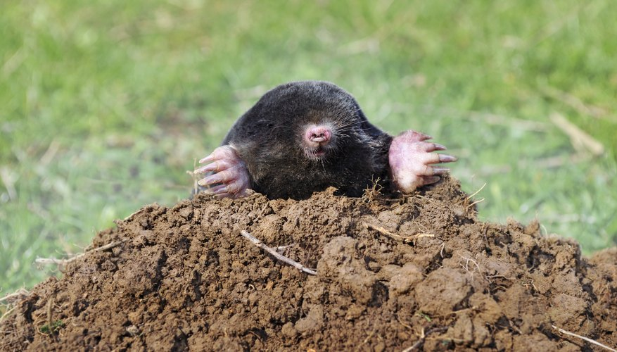 moles are among the animals who dig at night