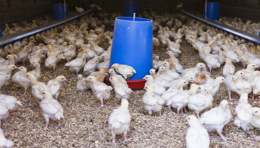 How to Raise Cornish Cross Chickens