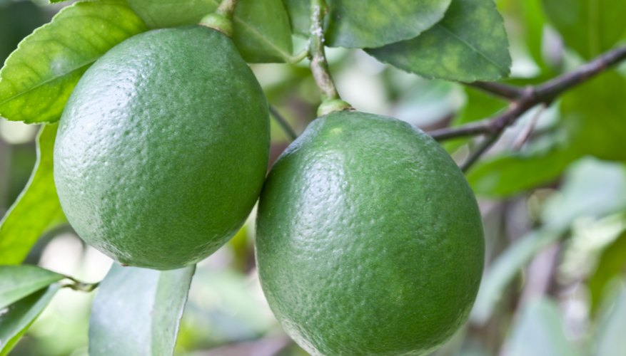 Limes grow on a tree branch.