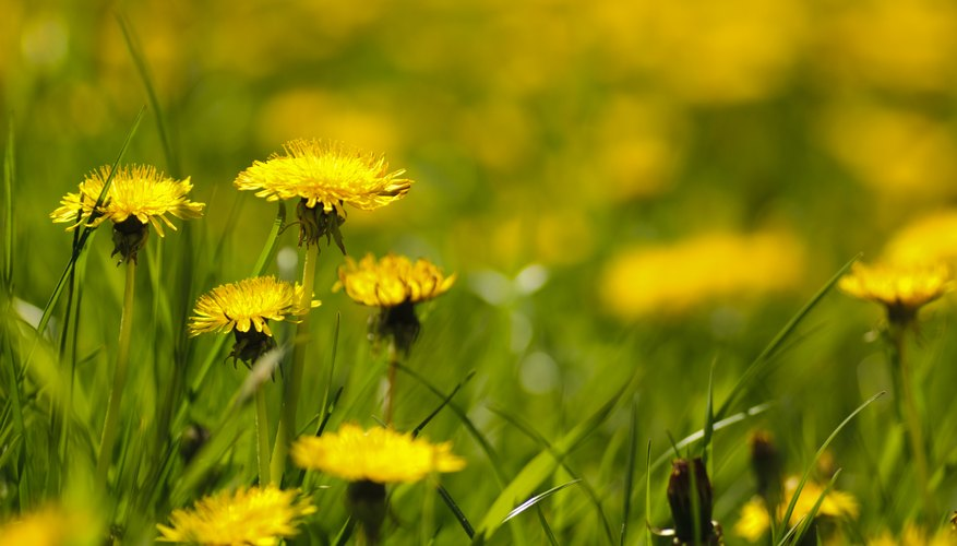 Dandelion flowers, leaves and roots are edible.