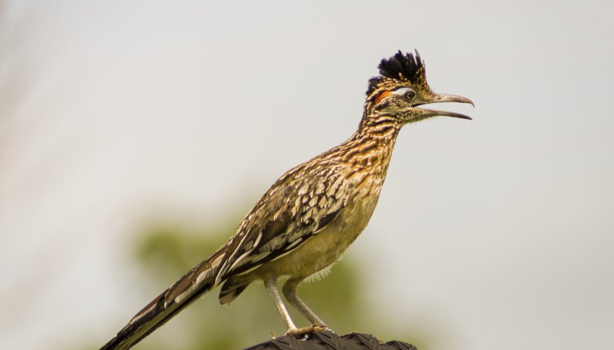 is there a difference between a male and a female roadrunner