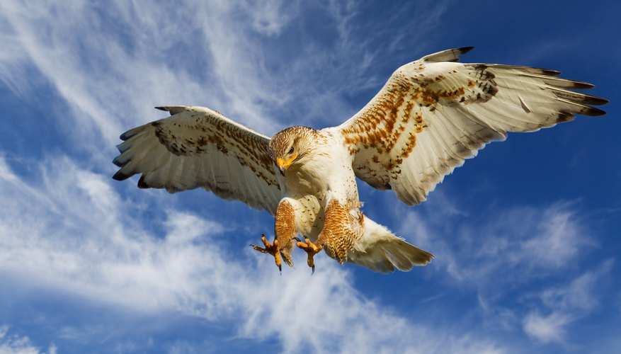 A large hawk comes in for an attack on its prey.