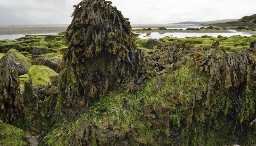 Algae covering rocks at low tide.