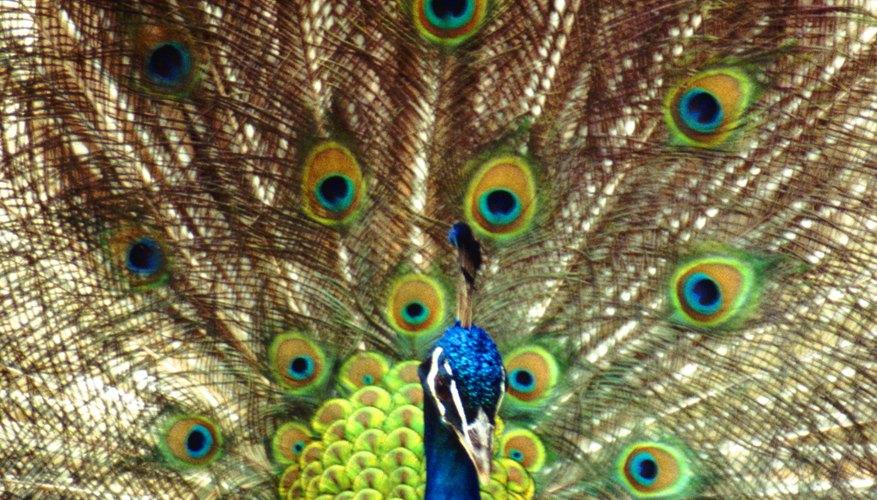 El macho despliega su plumaje en el ritual de cortejo.