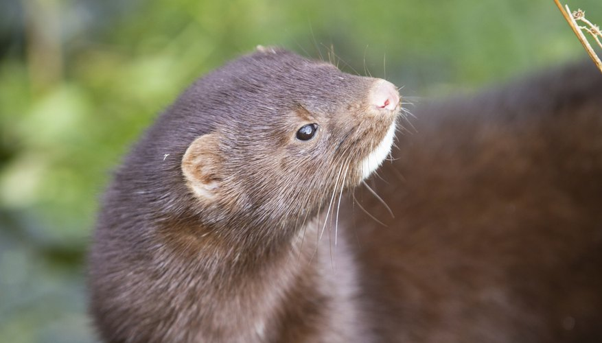 Mink always live near a source of water.