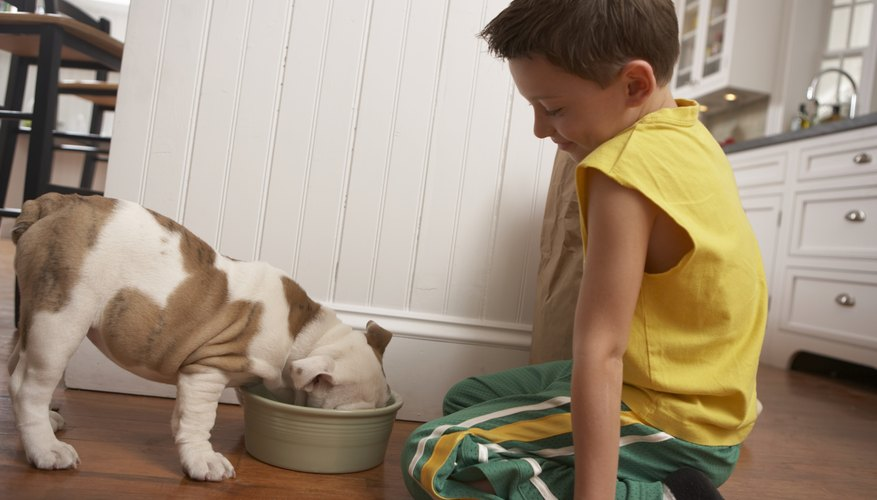 A boy feeds a bull dog in the kitchen.