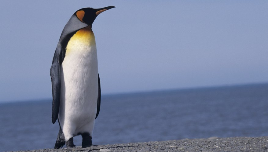 Close-up of penguin standing in front of the ocean.