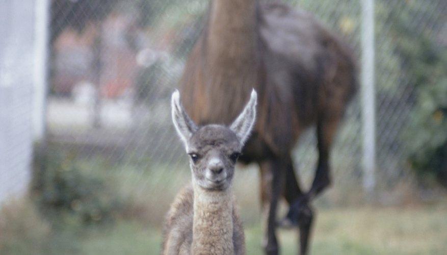 Specialty livestock such as llamas increasingly occur in Oregon.