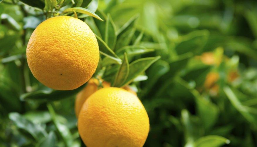 Oranges grow on a tree.